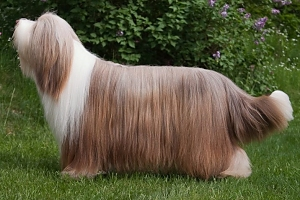 in adult Bearded Collies Bearded Collie Coat